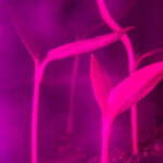 Plasmabehandlung von Pflanzen