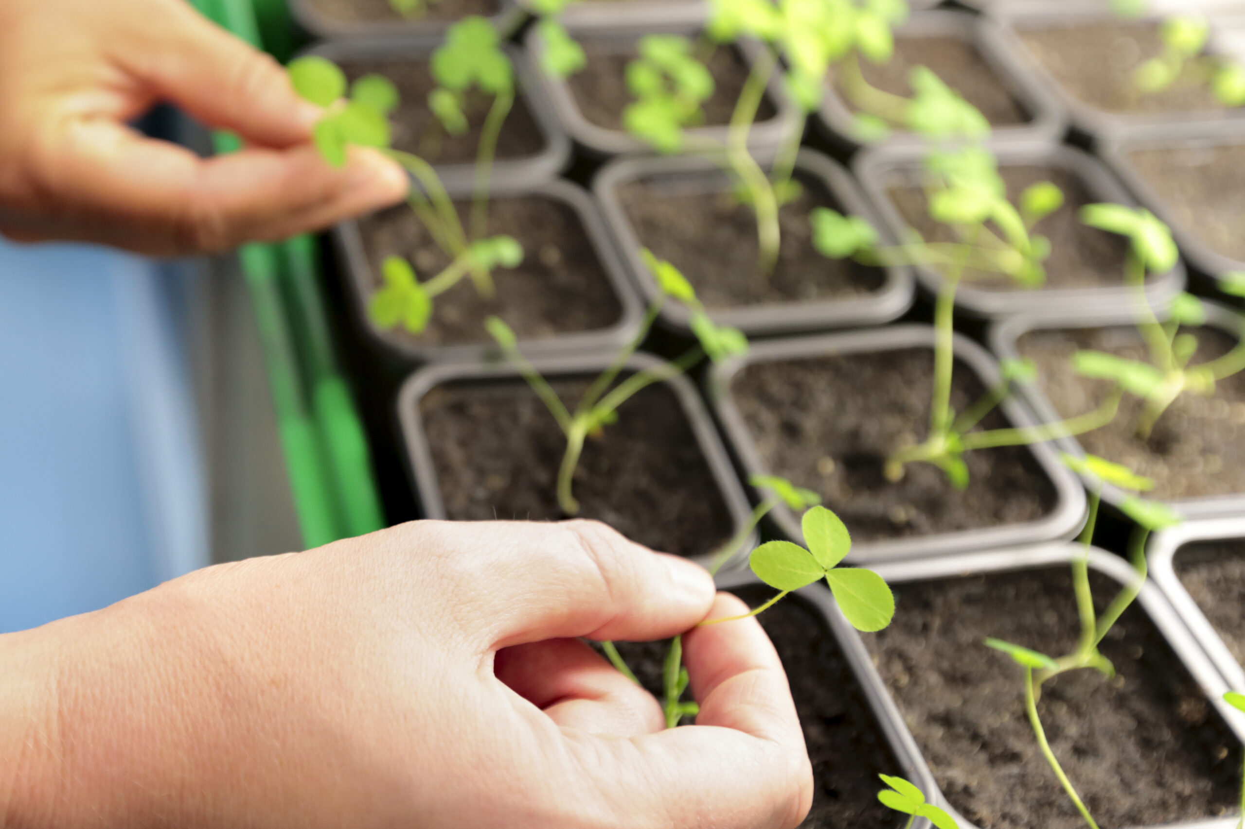 Pflanze im Labor