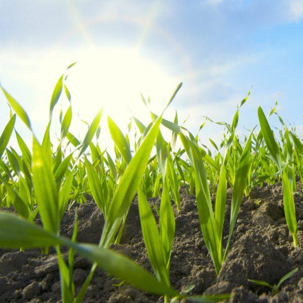 Aufgehende Saat von Weizen